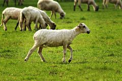 White lamb walking on spring green meadow Stock Photography