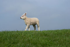 White lamb walking to the left Stock Image