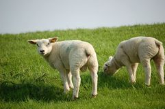 White lambs grazing meadow Stock Images