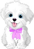 White lap-dog. Cute white lap-dog puppy posing with pink ribbon Stock Photography