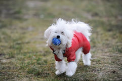 The white lap dog keeps ball in red suit. The white lap dog keeps in a red suit in a mouth a blue ball Royalty Free Stock Image