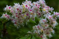 White chestnut flowers in the garden. White large chestnut flowers on a tree in the spring may garden stock photos