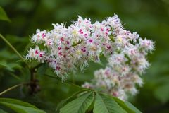 White chestnut flowers in the garden. White large chestnut flowers on a tree in the spring may garden royalty free stock image