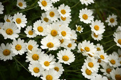 White large daisies. Group of large white daisies Stock Images