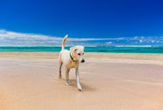 White large dog on a amazing tropical beach Royalty Free Stock Photo