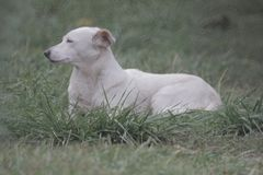 White, large dog breed companion dog lies on the grass, closeup portrait on the background. Of grass royalty free stock photography