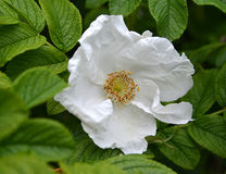 White large flower of a dogrose wrinkled roses wrinkled Rosa  rugosa L. White large flower of a dogrose wrinkled roses wrinkled Rosa rugosa L Royalty Free Stock Photography