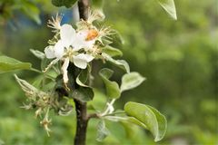 White large flower of an young apple tree close up. royalty free stock photo