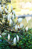 White large Magnolia tree blossom in Seattle Japanese garden. Stock Image