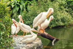 White large pelicans resting on the shore of lake stock photos