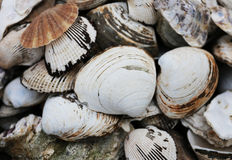 White large shell Stock Photography