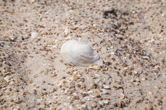 White large shell on a sandy beach Royalty Free Stock Photography
