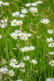 White large wild daisies in a meadow in the sunlight. Atmospheric bouquet of wild flowers and dasy create a dynamic contrast with clours during a spring scene in stock photos