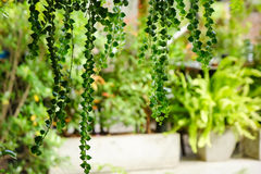 White lath blinder with hang green climber curtain.  Royalty Free Stock Photography