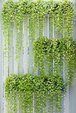White Lath blinder. With hang green climber pots Stock Photo