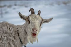 White Laughing Goat. A white goat on a snow covered field that appears to be laughing stock images