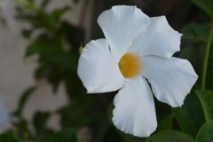 White Laurier flower. Purety white flower laurier royalty free stock photos