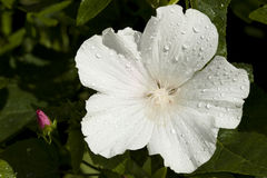 White lavatera Stock Images