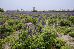 White lavenda in purple flowering farmland Stock Photography