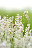 White Lavender with bee Royalty Free Stock Photo