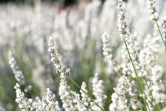 White lavender flowers. Spring field with white lavender flowers stock image