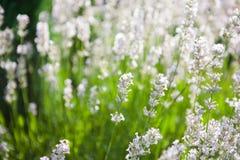 White lavender Stock Photos