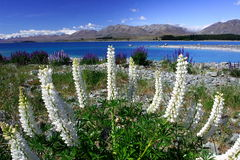 White Lavender by lake Tekapo. Blue sky, blue lake, beautiful lavender, Lake Tekapo, New Zealand, 200711 Royalty Free Stock Images