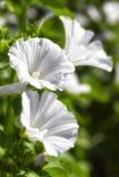 White lavetara Royalty Free Stock Image