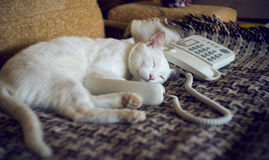 White lazy cat answers phone call Royalty Free Stock Images