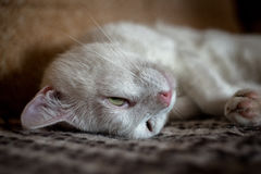 White lazy cat lies on the sofa Royalty Free Stock Photos