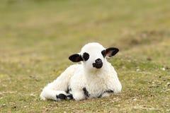 White lazy lamb Stock Photography
