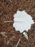 White leaf. A white leaf among foliage Royalty Free Stock Photo