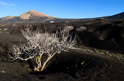 The white, leafless bush - Lanzarote, Canarian Islands. Royalty Free Stock Images