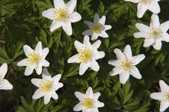 White leaved wood anemone Stock Photo
