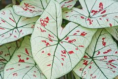 Free White Leaves,Caladium Bicolor,Queen Of The Leafy Plants Royalty Free Stock Photo - 133514935
