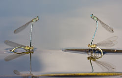 White-legged Damselflies Stock Images