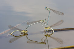 White-legged Damselflies Royalty Free Stock Image