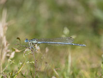 White-legged damselfly, Platycnemis pennipes Royalty Free Stock Photography