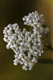 White leguminose    sambucus nigra Royalty Free Stock Image