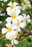White lelawadee flower Royalty Free Stock Photos