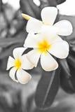 White lelawadee flower Stock Image