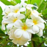 White lelawadee flower Stock Images