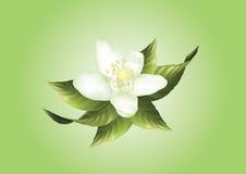 White lemon flower Royalty Free Stock Photos