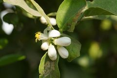 White lemon flowers, with leaves stock photos