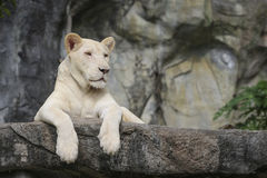 White leo Royalty Free Stock Images