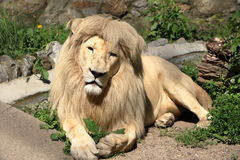 White Leon. Lion Portrait Behind in zoo royalty free stock images