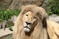 White Leon - portrait. Lion Portrait Behind in zoo stock photos