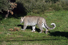 White leopard #1. White big male leopard walking Royalty Free Stock Photos
