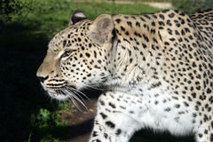 White leopard #5. White big male leopard walking Royalty Free Stock Photography