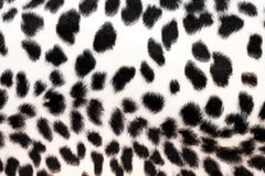 White leopard Royalty Free Stock Photography